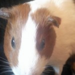 Dutch Guinea Pig Closeup