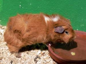 Guinea Pig Feeding