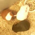 This photo shows a dutch guinea pig with a self-white guinea pig and a self-black guinea pig